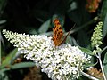 'Comma' butterfly, lands on Buddleia - geograph.org.uk - 1416622.jpg