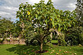 'Paulownia tomentosa' Empress tree Capel Manor Gardens Enfield London England 3.jpg