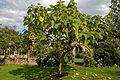 'Paulownia tomentosa' Empress tree Capel Manor Gardens Enfield London England 3.jpg