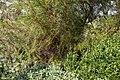 'Thryptomene saxicola' at Capel Manor College Gardens Enfield London England.jpg