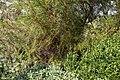 'Thryptomene saxicola' at Capel Manor College Gardens Enfield London England.jpg