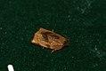 (0985) Carnation Tortrix (Cacoecimorpha pronubana) (3587603079).jpg