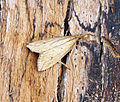 (1329) Donacaula forficella (19770612835).jpg