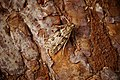 (1342) Eudonia angustea (31941610696).jpg