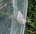 (1807) Grass Rivulet (Perizoma albulata) (17603949833).jpg