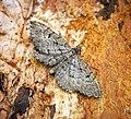 (1827) Freyer's Pug (Eupithecia intricata) (27981233441).jpg