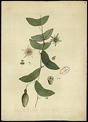 (Passiflora capsularis, L)