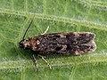 ?Gelechia scotinella - Thicket groundling - Выемчатокрылая моль плодовая (26031685577).jpg