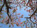 Árvore Flamboyant.JPG