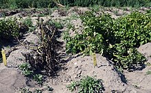 Genetically modified crops - Wikipedia