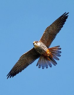 Ógea (Falco subbuteo).jpg