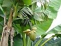 Бананы в Батумском ботаническом саду.jpg