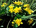 Весняні квіти в парку ХІХ ст. в м. Пустомити.jpg