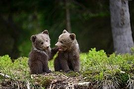 Двоє малих ведмежат у лісі.jpg