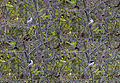 Длиннохвостая синица (Ополовник) - Aegithalos caudatus - Long-tailed Tit (Long-tailed Bushtit) - Дългоопашат синигер - Schwanzmeisen (21878755558).jpg