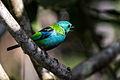 Зеленоголовая танагра.jpg