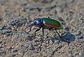Красотел пахучий - Calosoma sycophanta - Forest caterpillar hunter (Fiery Searcher) - Гъсеничар - Großer Puppenräuber (27088378445).jpg