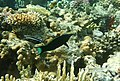 Лазоревый клюворыл (Gomphosus caeruleus) и Губан-чистильщик (Labroides dimidiatus). DSCF6116ОВ.jpg