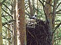 Лелека чорний, пташеня на гнізді.jpg