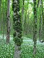 Медобори, ліс 3.JPG