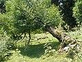 Поваленное дерево - Чинара - panoramio.jpg