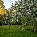 Цветущие яблони в Сергиевке.jpg