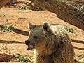 דוב חום סורי Ursus arctos syriacus.jpg