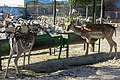 آهو در باغ وحش مشهد ایران- gazelle in zoo of iran.jpg