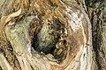 داخل درخت گردو - juglans 08.jpg