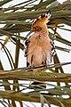 طيور منطقة المغير هدهد.jpg
