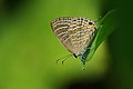 புங்க நீலன் - Common cerulean - Jamides celeno.jpg
