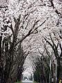 千貫桜 - panoramio.jpg