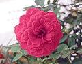 叢生玫瑰 Rosa sp. -香港北區花鳥蟲魚展 North District Flower Show, Hong Kong- (9207601590).jpg