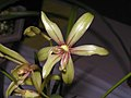 四季綠雲 Cymbidium ensifolium 'Green Cloud' -香港沙田國蘭展 Shatin Orchid Show, Hong Kong- (12186268786).jpg