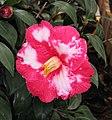山茶花-半重瓣 Camellia japonica Semi-double Form -香港動植物公園 Hong Kong Botanical Garden- (14279762850).jpg