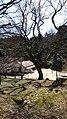 峰山陣屋跡のエノキ6.jpg