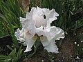 德國鳶尾-高大型 Iris germanica Risque -巴黎植物園 Jardin des Plantes, Paris- (9226995647).jpg