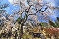 徹然桜 - panoramio.jpg