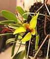 石豆蘭屬 Bulbophyllum amplebracteatum -香港沙田洋蘭展 Shatin Orchid Show, Hong Kong- (30694034593).jpg