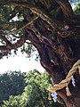 神明神社大杉1.jpg