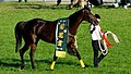 第76回菊花賞の優勝レイを着装した勝利馬キタサンブラック.JPG
