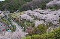 美加の台の桜 Cherry trees in Mikanodai 2014.4.01 - panoramio.jpg