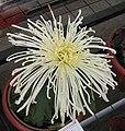 菊花-胭脂點雪 Chrysanthemum morifolium -中山小欖菊花會 Xiaolan Chrysanthemum Show, China- (12064619125).jpg