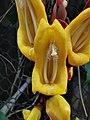 跳舞女郎 Thunbergia mysorensis 20200307185911 06.jpg