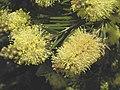 黃花瓶刷子樹 Callistemon pityoides -英格蘭 Wisley Gardens, England- (9216127216).jpg