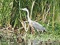 -2020-06-10 Grey Heron (Ardea cinerea), Paston, Norfolk (6).JPG