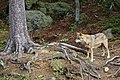 00 2633 Nationalpark Bayerischer Wald - Wolf-Freigelände.jpg