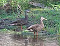 029 - MEXICAN MALLARD (4-14-2015) sonoita creek state natural area, santa cruz co, az -01 (16973594859).jpg