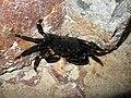 1. Мармуровий краб (Pachygrapsus marmoratus).jpg