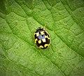 14-spot Ladybird Propylea quattuordecimpunctata (43057881015).jpg